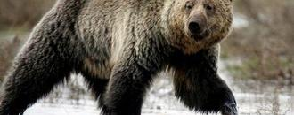 U.S. judge orders federal protection restored to Yellowstone grizzlies