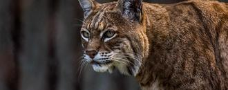 Bobcat in Connecticut golf course attack tests positive for rabies