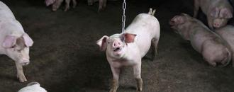 New China swine fever strains point to unlicensed vaccines