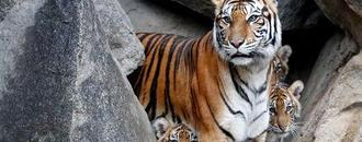 Tiger attacks zoo keeper in Topeka, Kansas