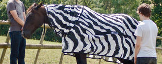 Why do zebras have stripes? Perhaps to dazzle away flies