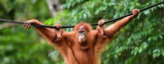 Indonesia pet orangutans released back into the wild