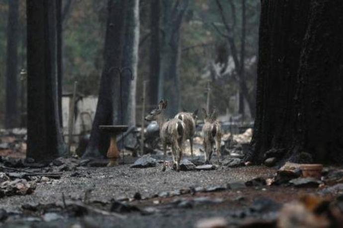 FILE PHOTO: Deer are seen on a property damaged by the Camp Fire in Paradise