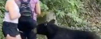 Wild bear that sniffed woman
