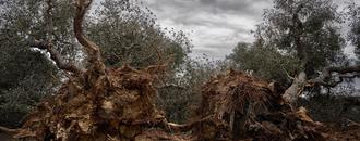 Spain must raze all vegetation on Mallorca to combat 'olive tree ebola' says EU report